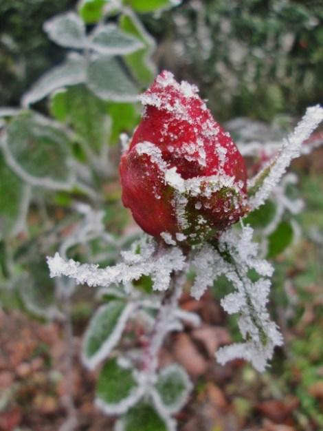 rose-givree-de-noel-22016