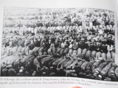 Bestiaux à St-Yrieix années 50